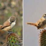 cactus_canastero_lomas-de-lachay