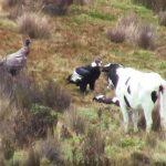 andean-condor-capable-of-killing-live-animals