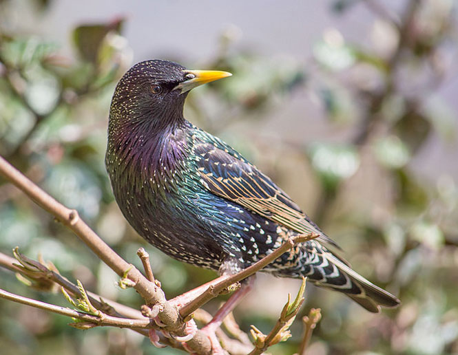 starling_threats to birds