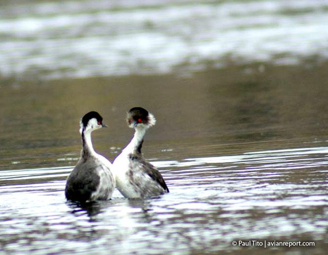 courtship_bird_reproduction