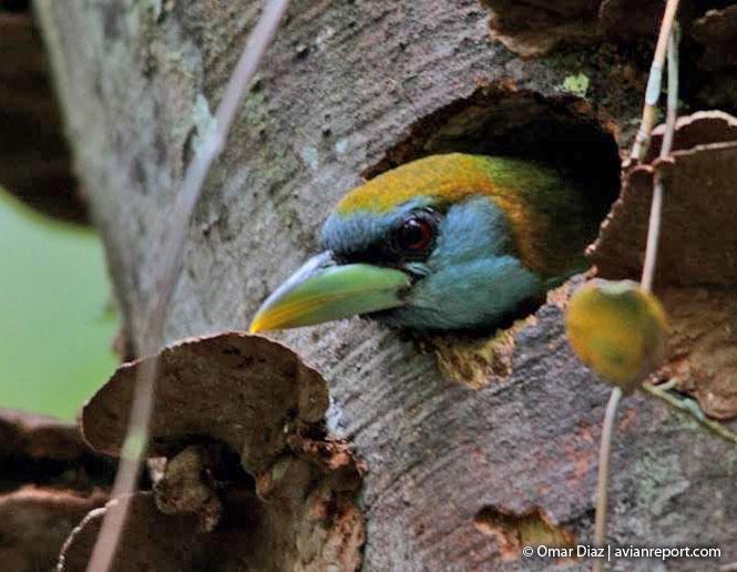 nests of birds_barbet