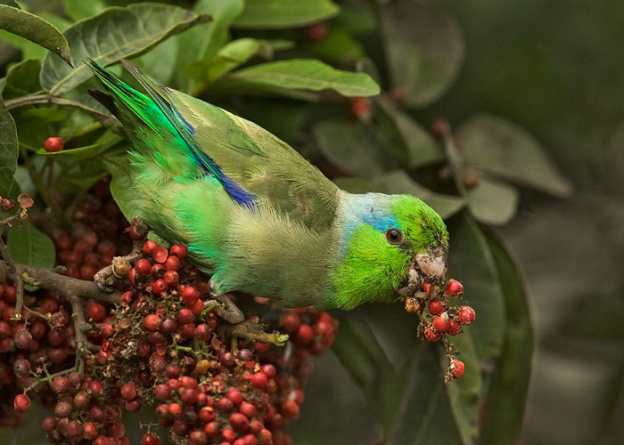Meet the 4 Resident Parakeets in the City of Lima - Avian Report