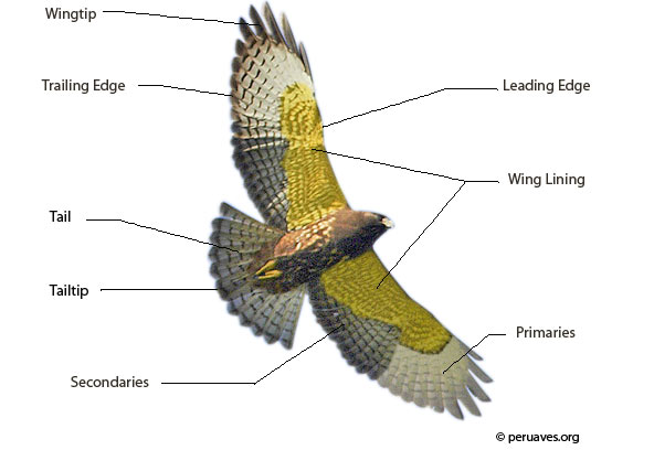 Parts of a Bird: Flight Feathers - Avian Report