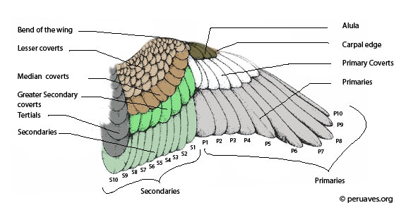 bird flight diagram parts of a bird flight feathers avian report  parts of a bird flight feathers