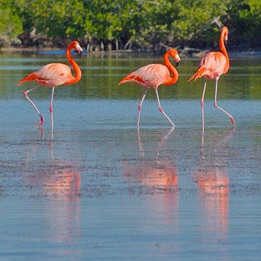 american flamingo_Everglades National Park