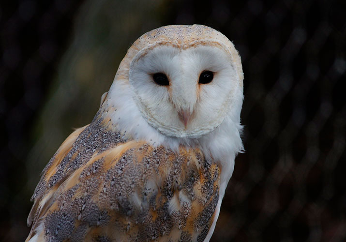 28 Frequently Asked Questions About Barn Owls - Avian Report